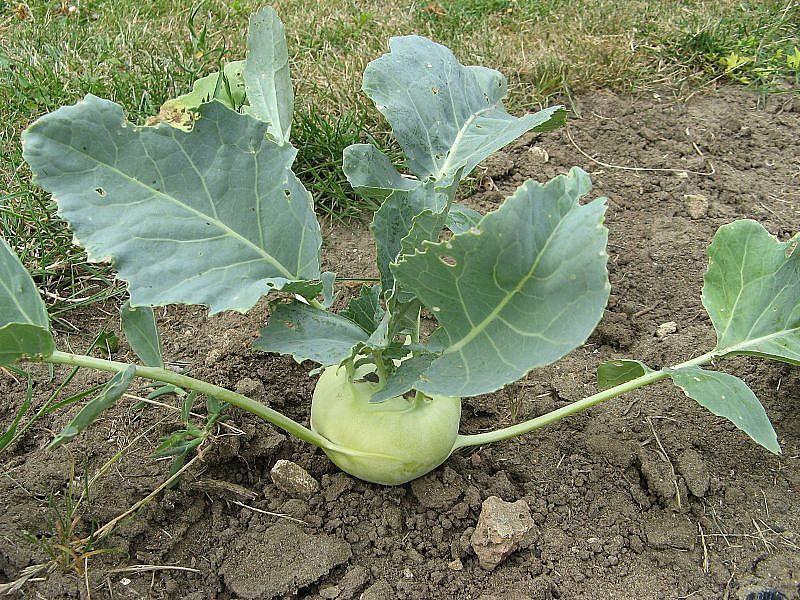 秋冬盛產的結頭菜,球莖會逐漸礦大。