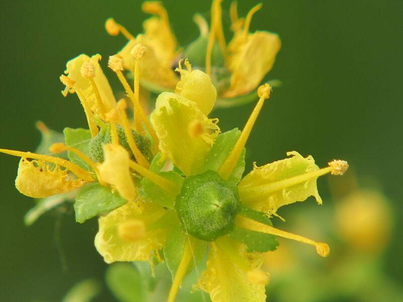 有芳香氣味的芸香,會開出黃色花朵。