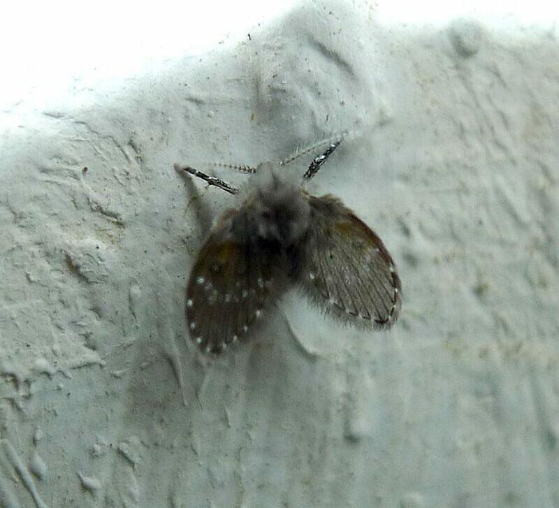 浴室、廁所等環境常見類似的蛾蚋小蟲,到底從哪裡來?